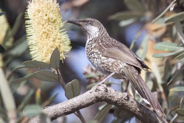 Illawarra Birds 8