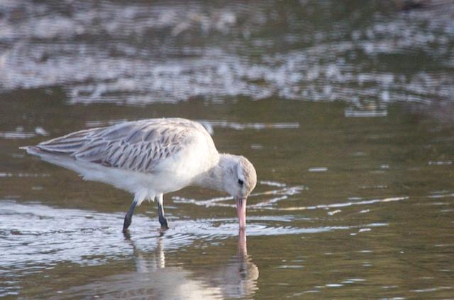Shoalhaven Heads Birds 13