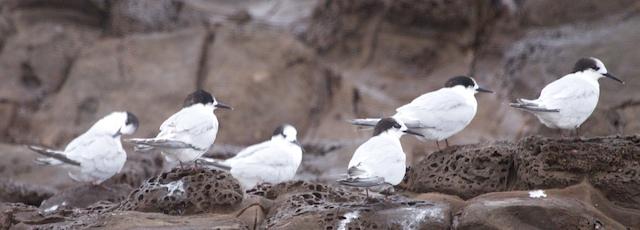 Five Islands Terns 1