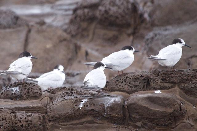 Five Islands Terns 2